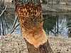 Beaver damage to a tree in Stone Mountain, GA