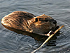 Beaver swimming while carrying a branch in its mouth