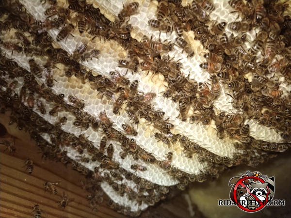 Honey bee hive with bees crawling on the combs between the rafters in the attic of a house in Atlanta