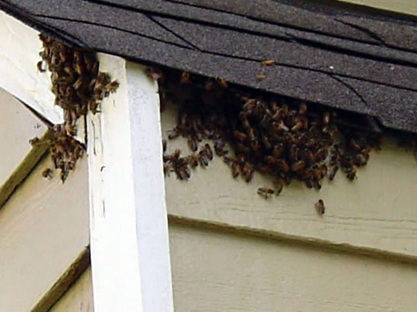 Bees Nest In Roof Of House Wespennest Bienennest