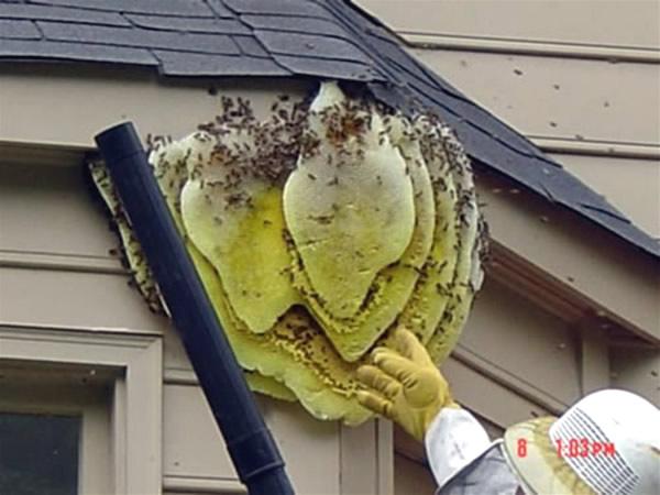 Honey Bee Removal Atlanta Peachtree City Marietta