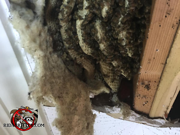 Exposed honey bee hive with at least six combs and bees crawling over them in the opened ceiling inside a house in Atlanta
