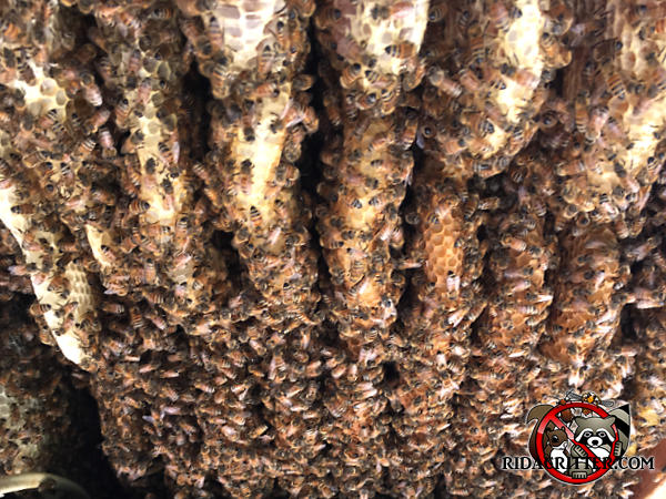 Combs of a honey bee hive with bees walking on them in a ceiling void in a house in Birmingham Alabama