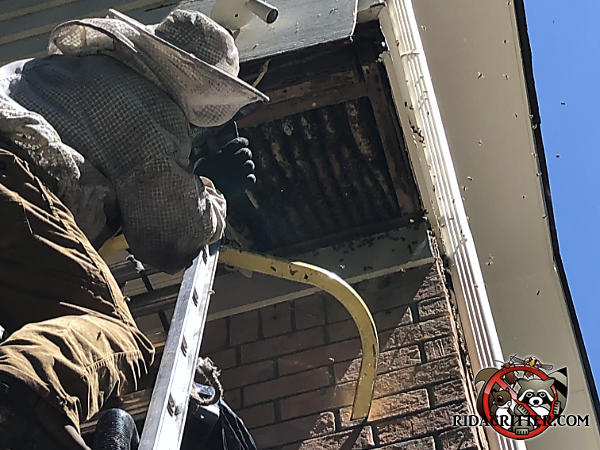Man on a ladder wearing a protective bee suit removing a honey bee hive with about ten combs from the exposed soffit of a house in Atlanta