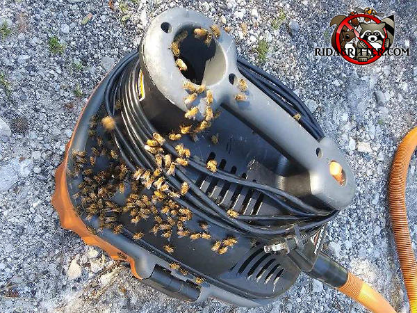 Honey bees on the outside of a canister type vacuum cleaner in which they built a nest