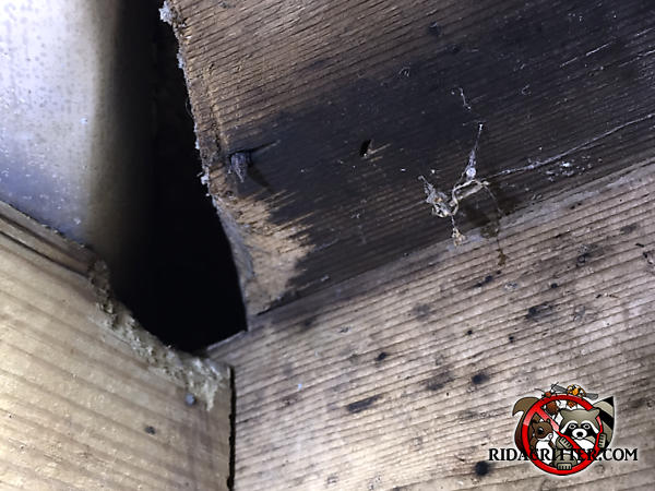 Honey bees used an old rat hole in the framing of a house in Macon Georgia to get into the house