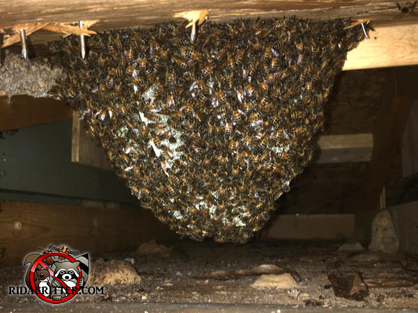 Honey bees crawling on the combs of a basketball sized honey bee nest in the soffit of a house in Atlanta