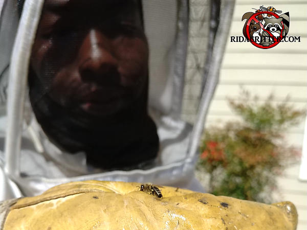 Man in a protective bee suit with a honey bee on his gloved hand at a Roswell Georgia honey bee removal job