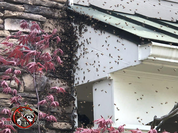 Many honey bees swarming around the corner of the stone roof and the porch overhang at a house in Johns Creek Georgia