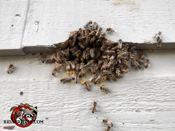 About a hundred honey bees swarming at a hole in the siding of a house in Stockbridge Georgia