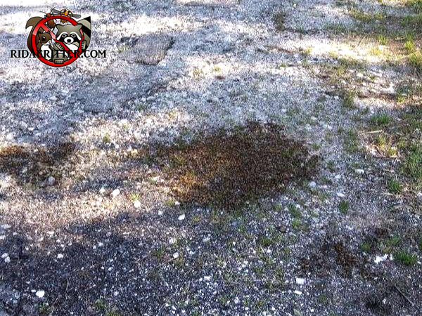 Many honey bees in a roughly one foot patch on a driveway because the queen decided to stop there to rest