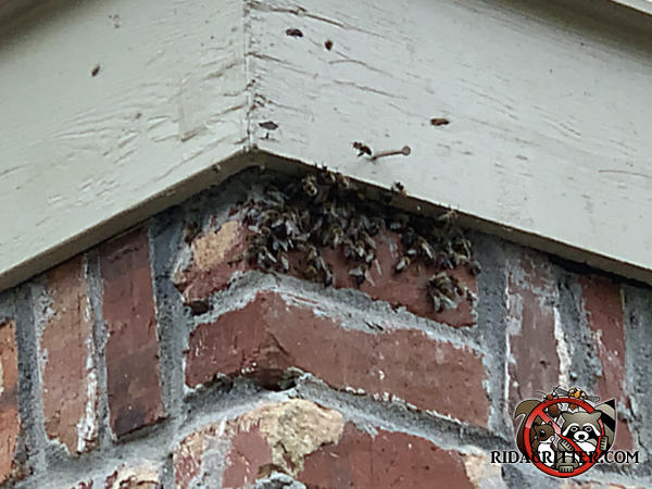 Bees congregating near the gap between the bricks and the frieze board that they