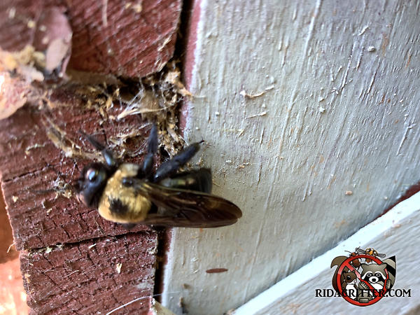 Carpenter bee drilling a hole in the bottom of a wooden deck outside a house in Macon Georgia