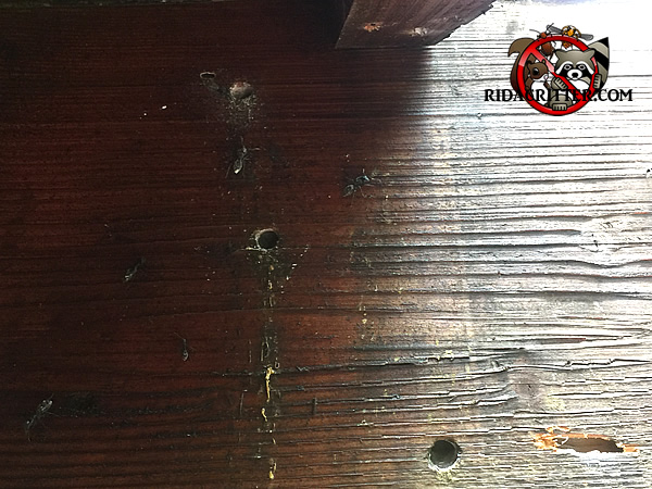 Carpenter Bee Holes In The Wood Of A House