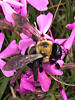 Close up of a carpenter bee gathering nectar on a flower in Atlanta Georgia
