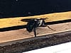 Carpenter bee on the wood behind the gutter starting to drill a hole into a house in Carrollton Georgia