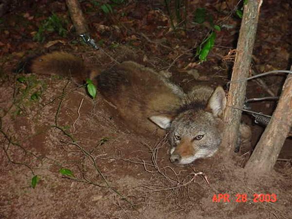 Coyote Control And Removal Atlanta Marietta Peachtree City