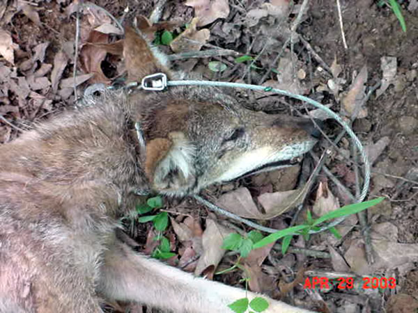 Coyote Control And Removal Atlanta Marietta Peachtree City