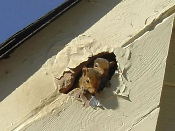 Squirrel Proofing Your Home