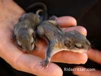 Two baby flying squirrels in a technician's hand