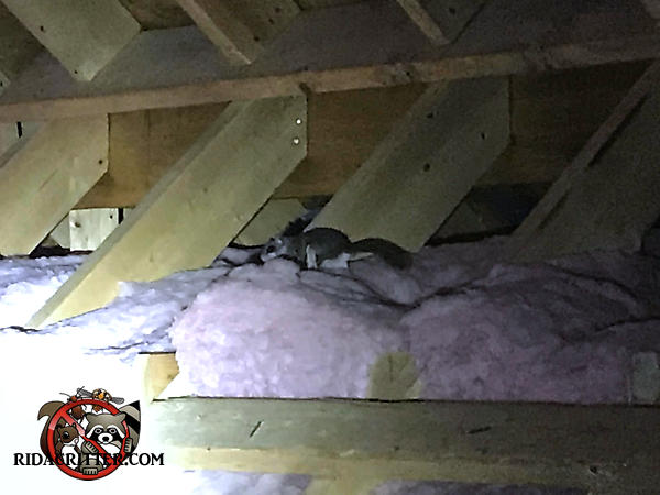 Flying squirrel running along the insulation in the attic of a house in Cartersville Georgia