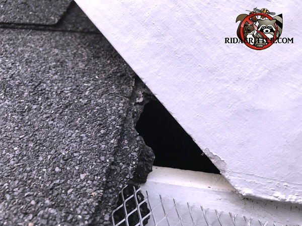 Flying squirrel chewed a small entry hole through the shingles of a house in Peachtree City Georgia