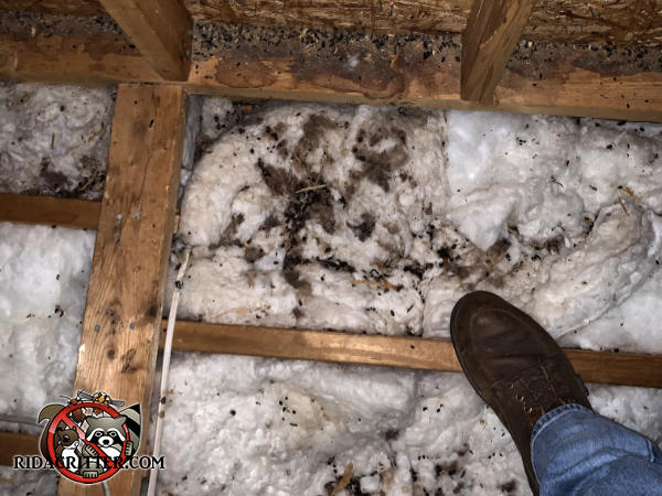 Quite a bit of flying squirrel urine and feces in the insulation and on the framing in the unfinished attic of a house in Chattanooga