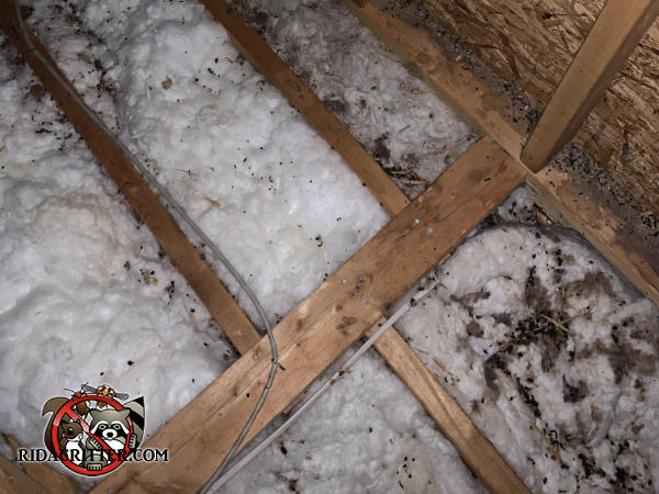 Flying squirrel urine and feces in the insulation between the joists in the unfinished attic of a house in Cordele Georgia