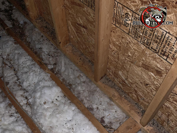 Flying squirrel urine and droppings in the insulation between the joists in the unfinished attic of a house in Dunwoody Georgia