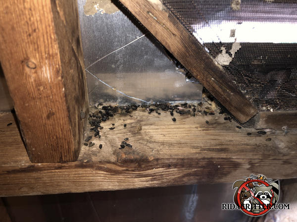 Flying squirrel droppings on the framing near a vent window in the unfinished attic of a house in Johns Creek Georgia