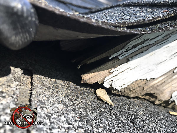 Triangular gap of about an inch under a shingle allowed flying squirrels into a house in Albany Georgia