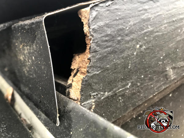 Flying squirrel chew hole starting with a gap between the end of the fascia board and the flashing