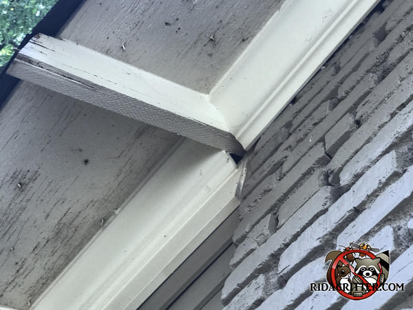 Roughly two inch gap in the roof trim under a rafter projecting from a brick house in Atlanta allowed flying squirrels to get into the attic