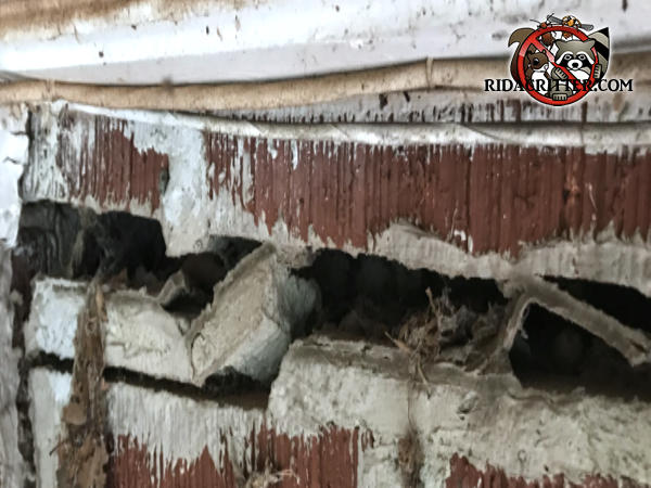 There is a gap between the bricks at the top of the wall of a house in Chattanooga and flying squirrels got in through the gap