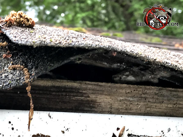Buckling of the shingles over the roof fascia created a gap through which flying squirrels got into a house in Griffin Georgia