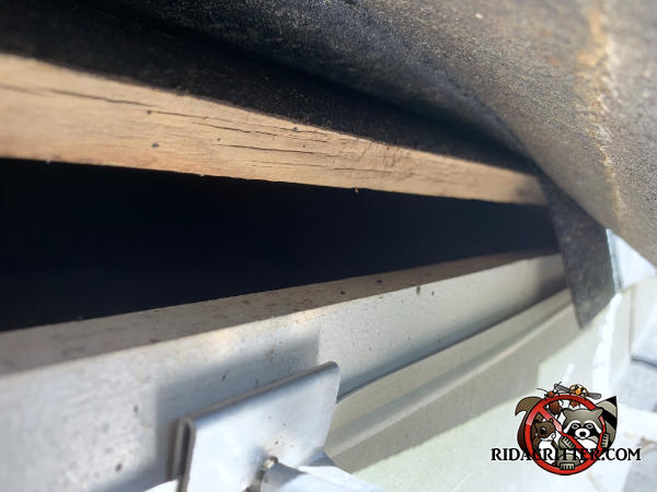 Lifted shingles reveals a one inch gap between the roof sheathing and fascia that needs to be sealed to keep flying squirrels out of the attic of a Jackson Georgia home