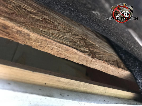 One inch gap under the roof sheathing that allowed flying squirrels to get into the attic of a house in Murrayville Georgia