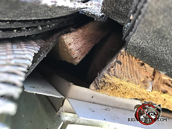Three quarter inch gap in the corner of the roof sheathing allowed flying squirrels into the attic of a Stockbridge Georgia home