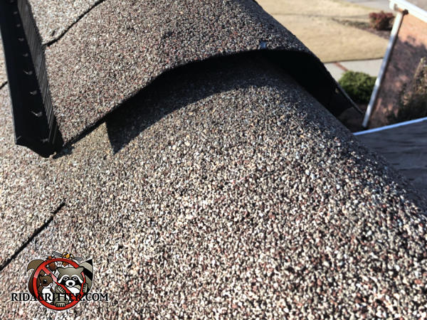 Three quarter inch gap between the shingles over the roof ridge allowed flying squirrels into the attic of a house in Stone Mountain Georgia