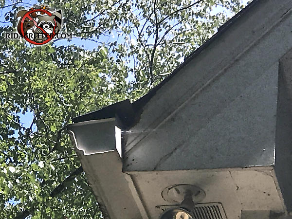 Flying squirrel chew hole in the end of the soffit right behind the rain gutter of a house in Atlanta