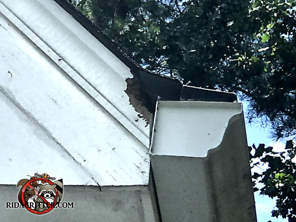 Flying squirrel chew hole in the end of the soffit behind the rain gutter of a house in Atlanta