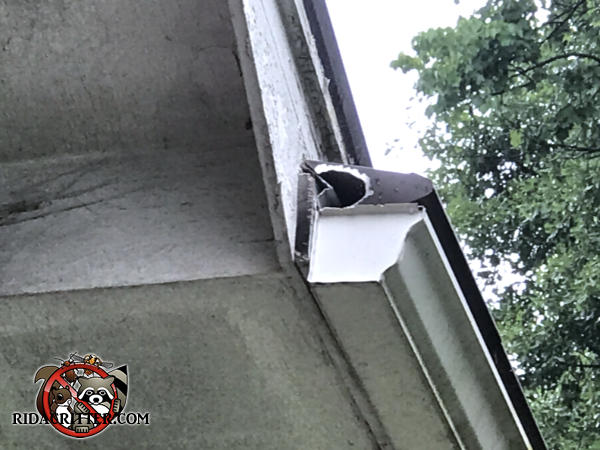Flying squirrel gnawed a hole through the end of the metal rain gutter cover to get into a house in Carrollton Georgia