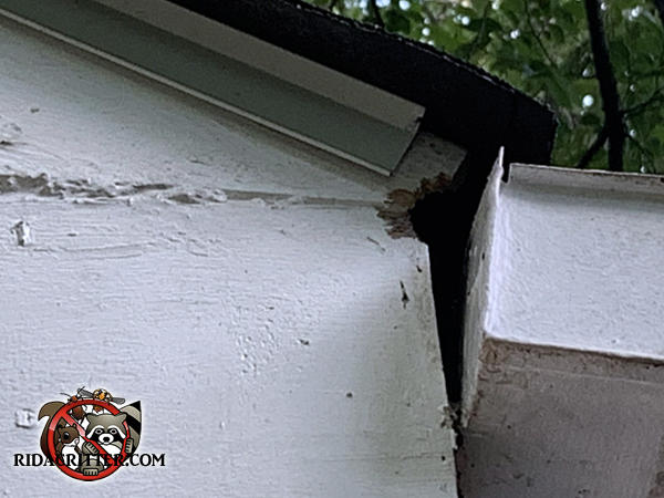Flying squirrel hole in the end of the soffit behind the rain gutter of a house in Dunwoody Georgia