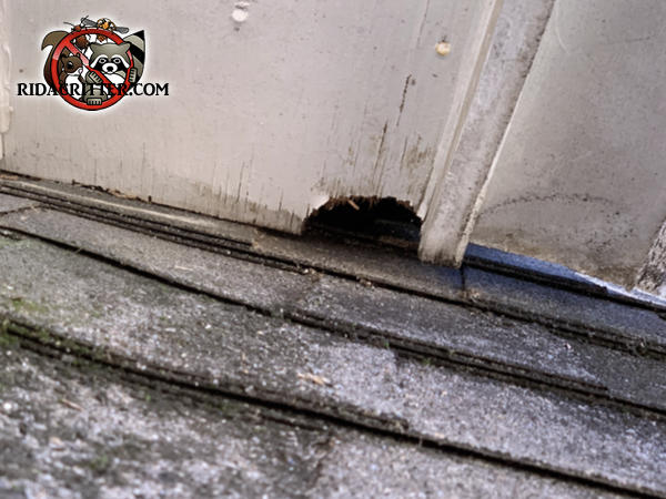Flying squirrel hole in a roof soffit panel where it meets the shingles at a roof junction