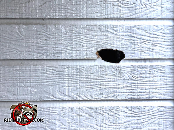 Flying squirrel hole chewed through the wooden clapboard siding of a house in Valdosta Georgia
