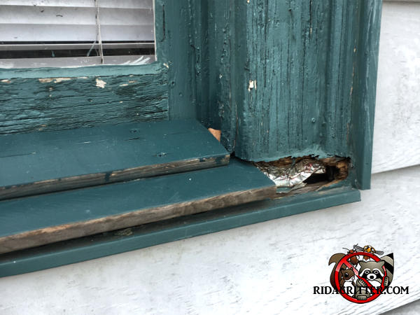 Flying squirrel hole gnawed through the lower right corner of a wooden window frame and into a house in Atlanta
