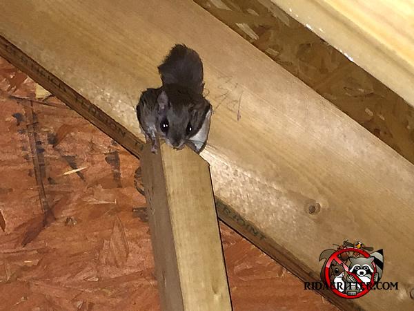 Flying Squirrel Removal Metro Atlanta Peachtree City