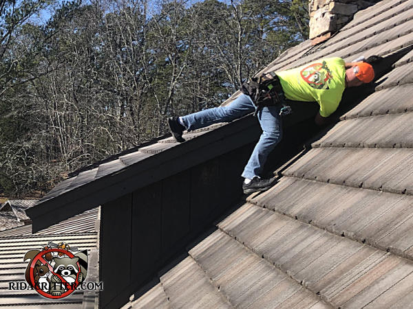 Man standing on a gently sloped roof peering into the junction of a dormer to find out how flying squirrels were getting into the attic