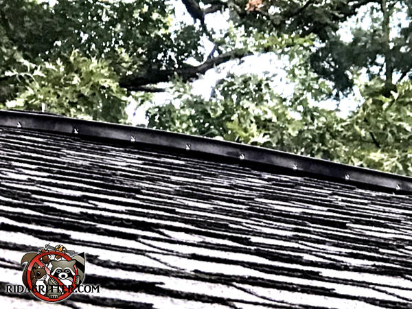 The ridge vent is partially detached from the roof which created a gap that allowed flying squirrels into the attic of an Atlanta home