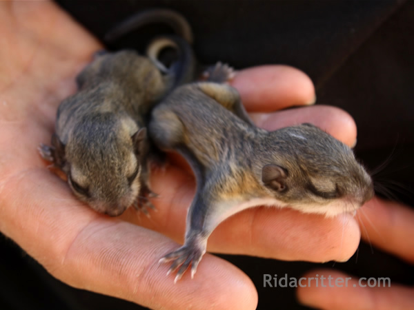 Two baby flying squirrels in an animal control technician's palm